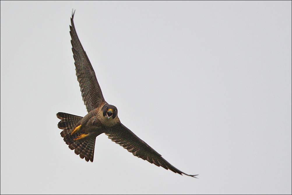 Elicottero Falco : Il falco e bambino corriere delle migrazioni